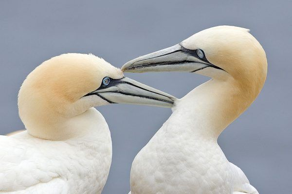 1024px-Two_Gannets_edit_2